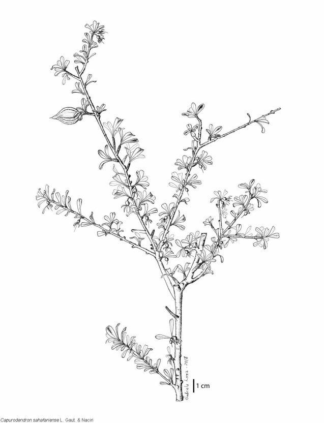 Capu_sahafariense_plante_10cm_glw